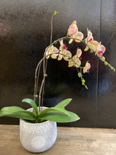 Orchid Plant 6\'\' Assorted Color