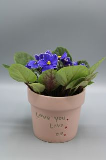 African Violet Plant Assorted Colors