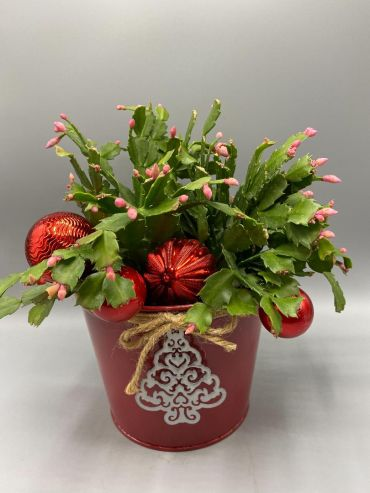 Christmas Cactus Plant, Assorted Colors